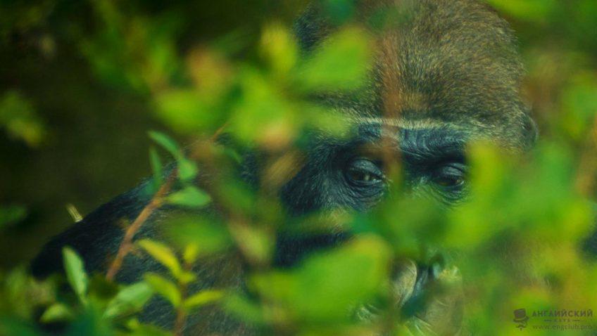 Умная обезьяна, о которой знает весь мир